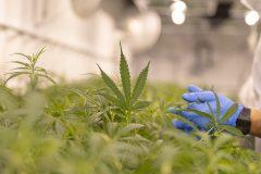 Le cannabis ne soulagerait pas les troubles mentaux, selon une étude