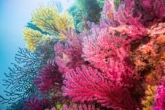 Méditerranée: des coraux décimés par une vague de chaleur renaissent