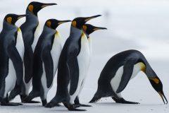 L'archipel des Malouines mise sur les manchots royaux pour stimuler le tourisme