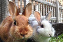 Nouvelle offensive en faveur des lapins domestiques