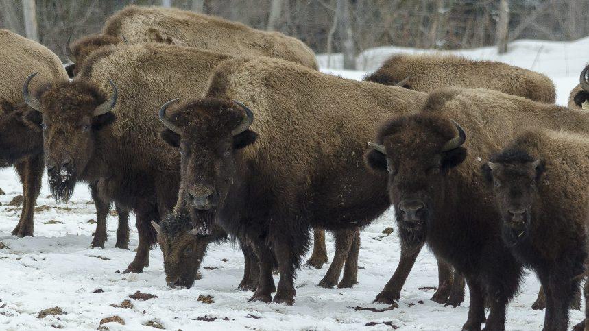 Se rapprocher des bisons