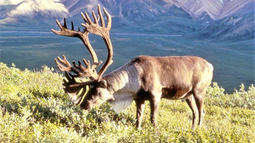 Caribous: Pierre Dufour avoue son impuissance à protéger les petits cheptels
