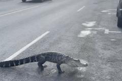 Un alligator traverse la rue Jarry: «La police pensait que c'était une joke»