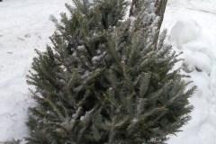 Sapins de Noël : une collecte spéciale prévue