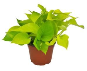 plante