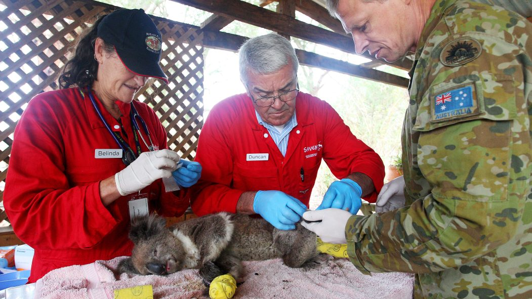 Des professionnels portent assistance à un koala affecté par les feux sur l'Île Kangourou, en Australie.