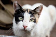 Un chat porteur du coronavirus en Belgique, un cas rare