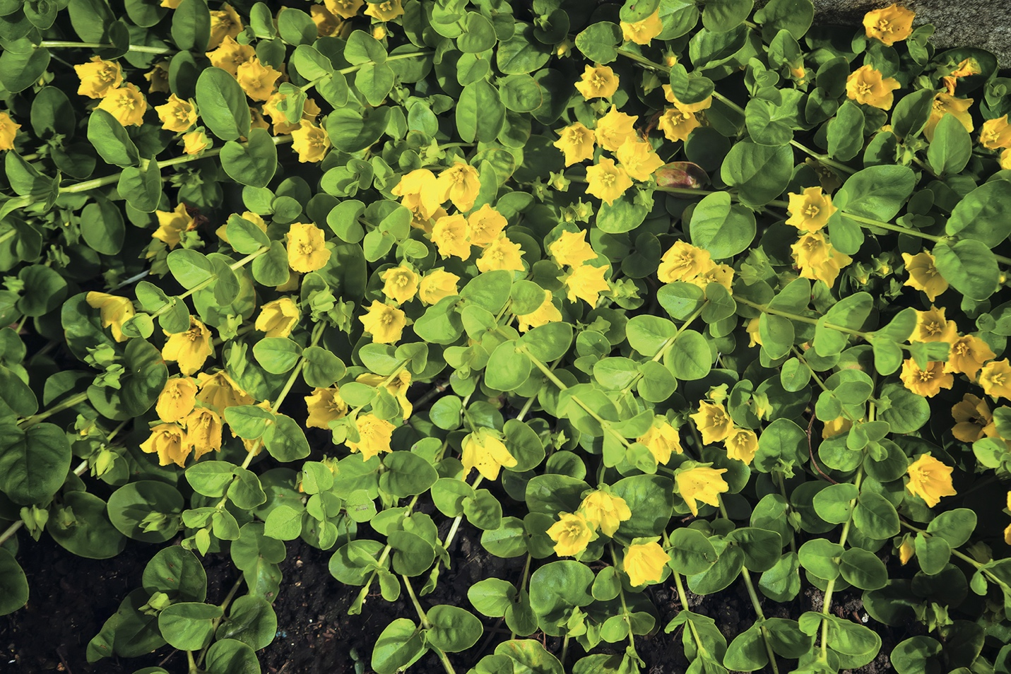 9 plantes couvre-sol pour remplacer le gazon