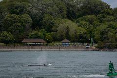 Baleine à bosse: une distance de 100 mètres à respecter sous peine d'amendes