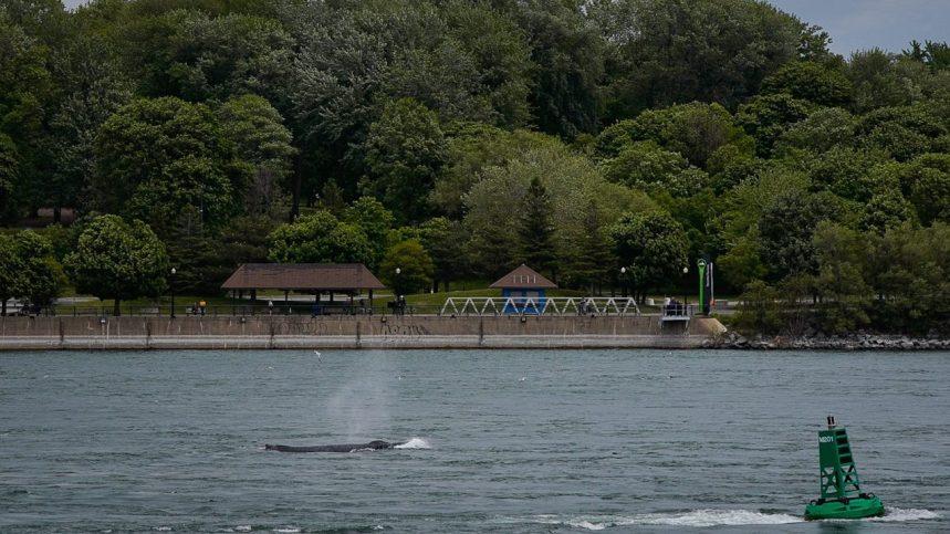 La baleine à bosse retrouvée morte à proximité de Varennes