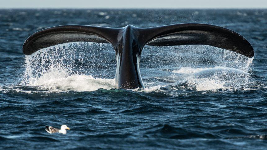 De nombreux navires refusent toujours de ralentir pour protéger les baleines noires