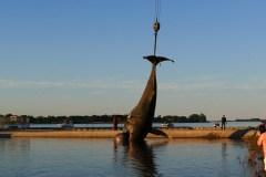 La baleine à bosse pourrait avoir subi une collision avec un navire