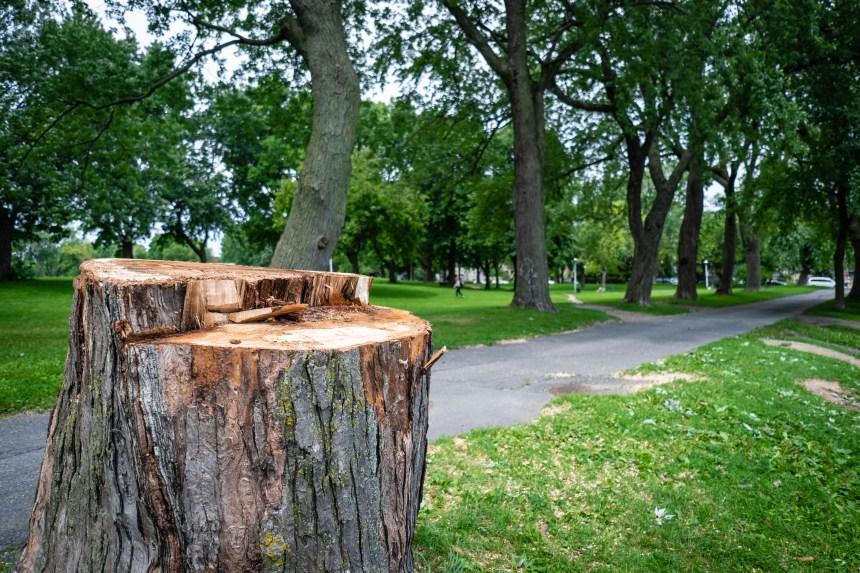 Agrile du frêne: abattage record en 2019 à Montréal