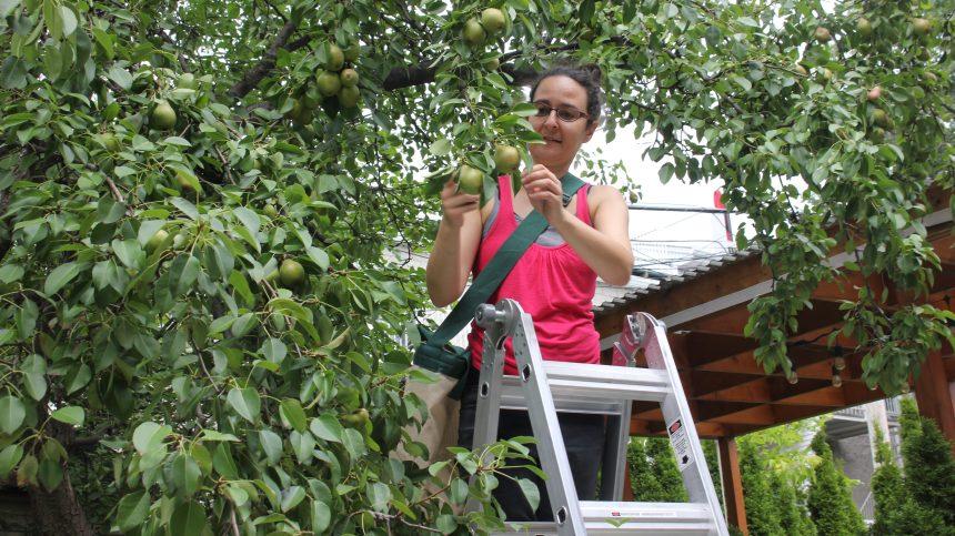 La cueillette de fruits contre le gaspillage alimentaire
