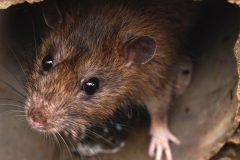 SRB Pie-IX: des citoyens se plaignent d'une prolifération de rats dans Rosemont