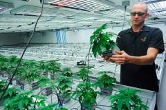 Quatre États voteront sur la légalisation de la marijuana le 3 novembre