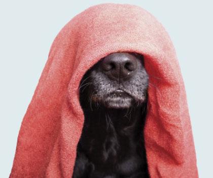 Chien avec une serviette sur la tête