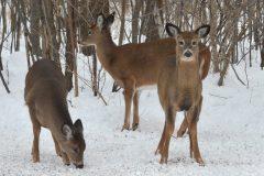La mairie de Longueuil recule sur l'abattage des cerfs
