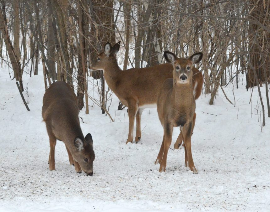 Pointe-aux-Prairies: pas d'abattage de cerfs en vue