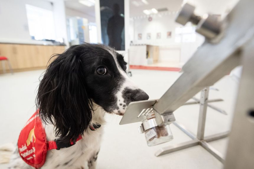 Et si les chiens pouvaient nous aider à détecter la COVID-19?