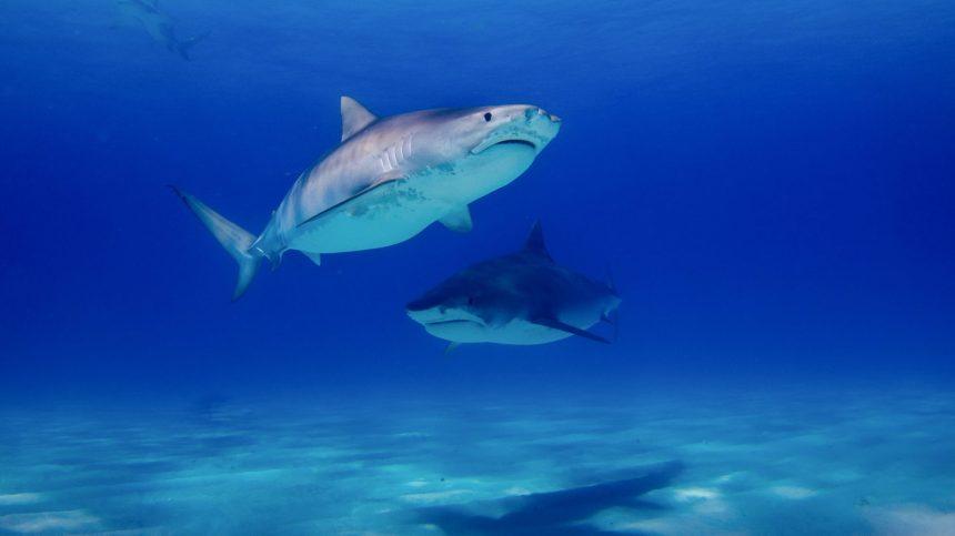 COVID-19: le développement d'un vaccin pourrait mettre en danger des milliers de requins