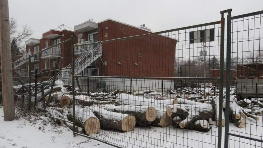 L'abattage d'arbres «centenaires» sème la grogne à Tétreaultville