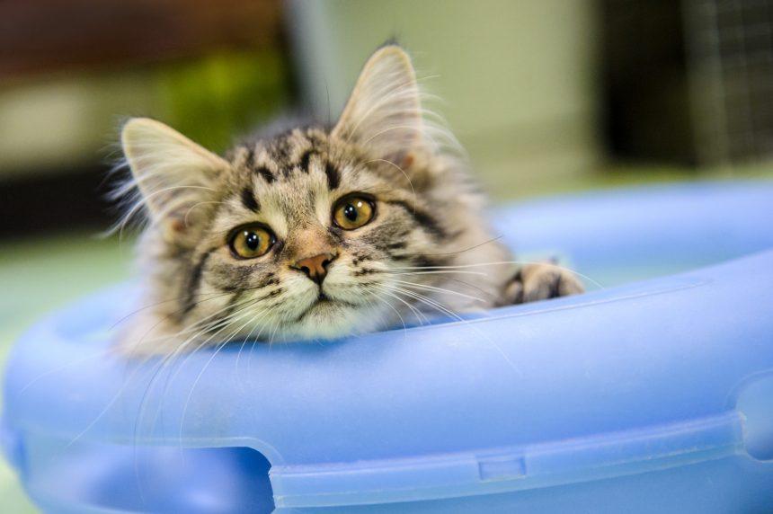 Adoptions en baisse à la SPCA durant la pandémie