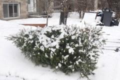 Fin écologique pour les sapins de Noël