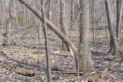 Ravages des castors sur les arbres: davantage de plantations demandées