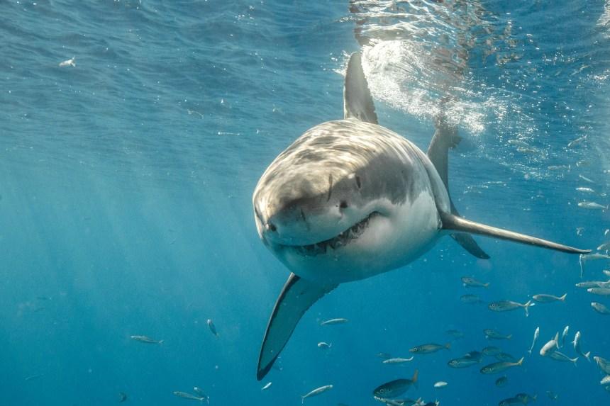 Les Grands requins blancs menacés