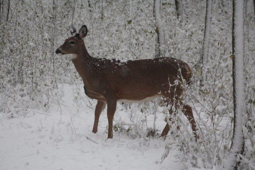 Pointe-aux-Prairies: Montréal écarte l'abattage de cerfs