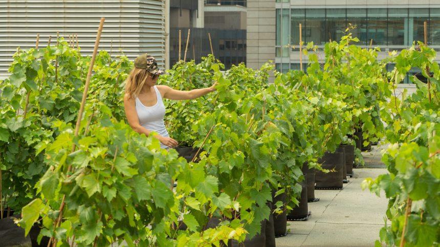 Les bienfaits environnementaux des vignes sur les toits