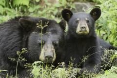 L'euthanasie de l'ourson de Dorval vivement critiquée
