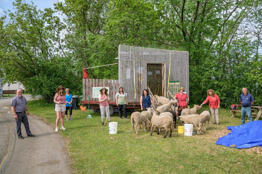 Les moutons sont enfin arrivés au parc Saint-Joseph de RDP