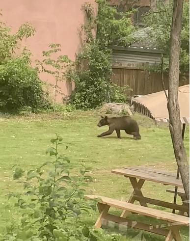 Dorval: un ours en cavale au milieu de résidences