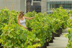 Des vignes sur des toits montréalais pour lutter contre les îlots de chaleur