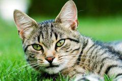 Retour du programme de stérilisation des chats dans MHM