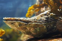 De minuscules résidus de plastique menacent les huîtres canadiennes