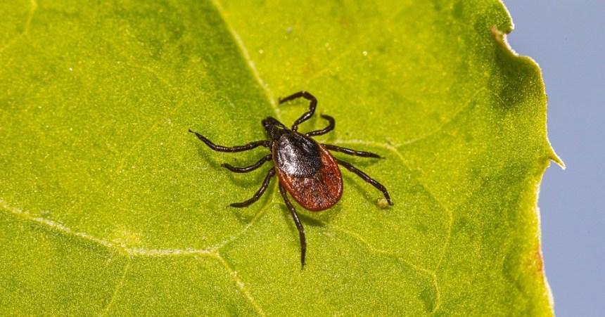 Maladie de Lyme: l'Ouest-de-l'Île à risques