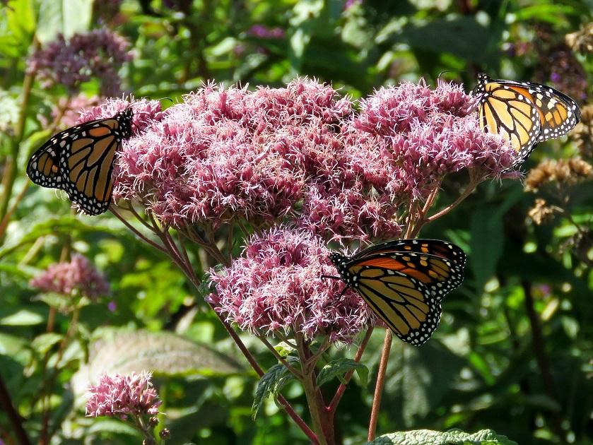 Un «Blitz international» pour suivre les papillons monarques