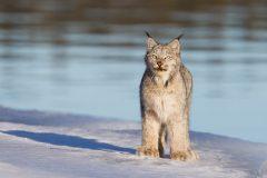 La vie secrète des lynx révélée par des enregistrements audio